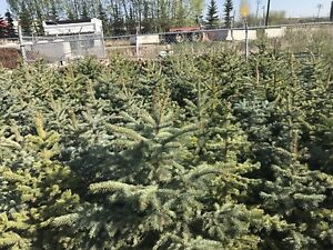 Special on Colorado spruce trees!