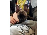 Kc reg french bulldog puppy