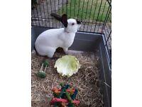 5 month old Devon Rex rabbit