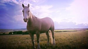 Project gelding for sale