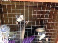 Free Ferrets