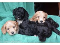 For Sale Stunning F1 Toy Cockerpoos Puppies.