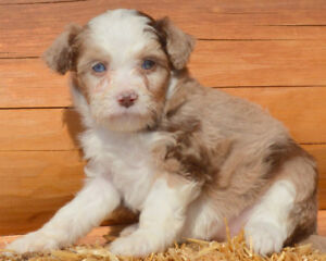 NEW LITTER ! F1 TOY or  Mini Aussiedoodle Puppies