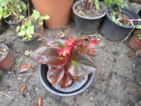 Plants for sale-Dark Leaf Begonia plant