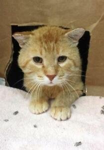 "Adult Male Cat - Tabby (Orange): ""Renaldo"""