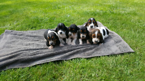 Bassett hound puppies for sale
