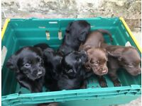 Springer X Labrador Puppies