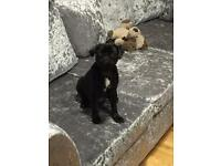 Black 15 week KC registered with papers, microchipped full pedigree male pug