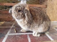 Mini lop Buck