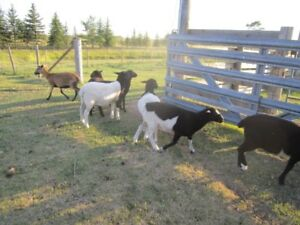 Replacement Ewe lambs - Tickity Boo Farm