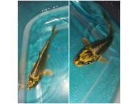 Koi carp. Pond fish