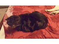 Missing cat Suttieside Road Forfar