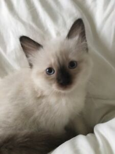 Beautiful Ragdoll Kittens Looking For A New, Loving Home