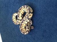 Cracking female pastel Royal