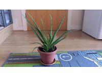 Aloe Vera Plants in Pots
