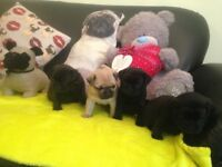 5 week old Pug Puppy's