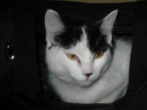 Adult Female  - Domestic Short Hair (Black & White)