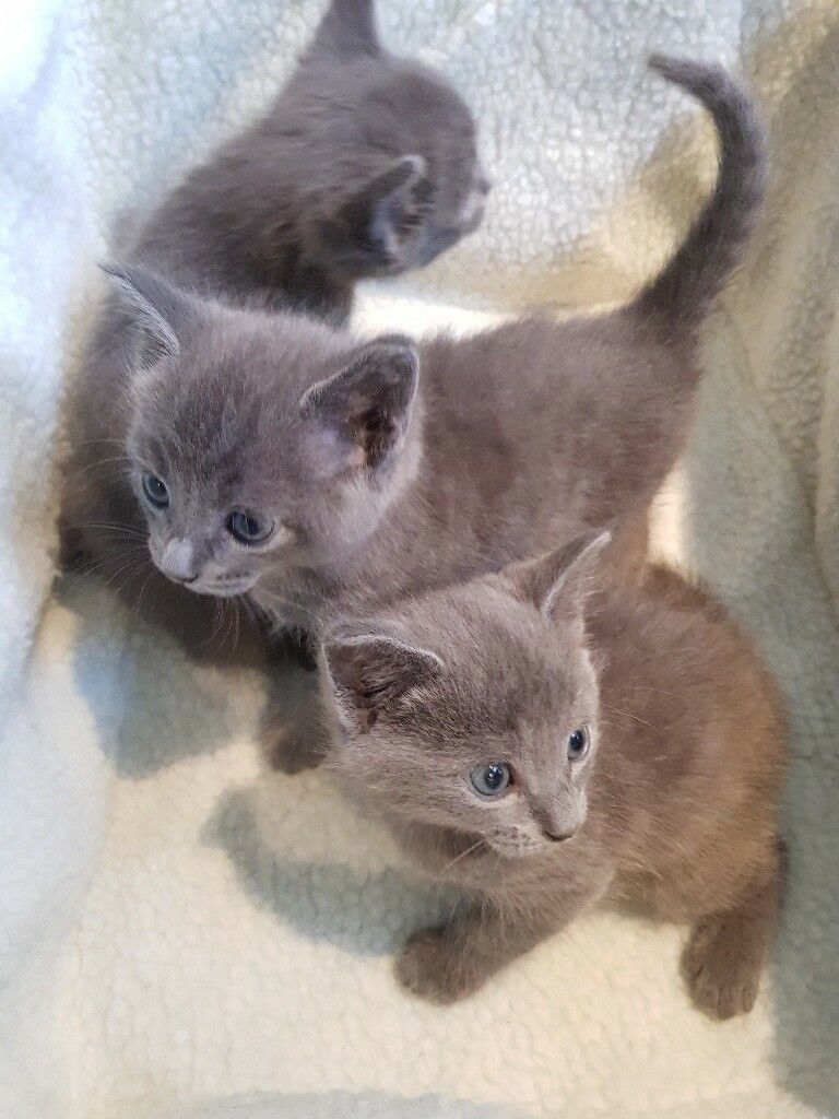 Russian Blue Grey Kitten 2 Male and 1 Female READY FOR NEW HOME