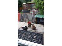 A lovely trio of millefleur pekin bantams for sale