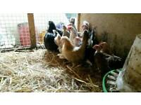 Bantam chicken hen's