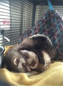 Ferrets and Cage to new loving home