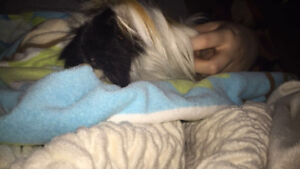 Long Haired Guinie Pig needs a new Home!!!