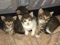 Kittens ready 4th September