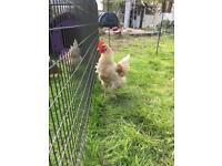 Chicken cockerel large fowl free