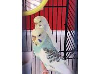 2 female budgies with large cage