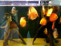 """20 discus various strains 2.5 to 7.5 """" may sell seperate"""