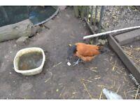 Vorwaek chickens