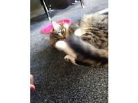 Maincoon x for sale