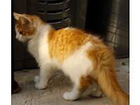 Fluffy White and Ginger Kitten