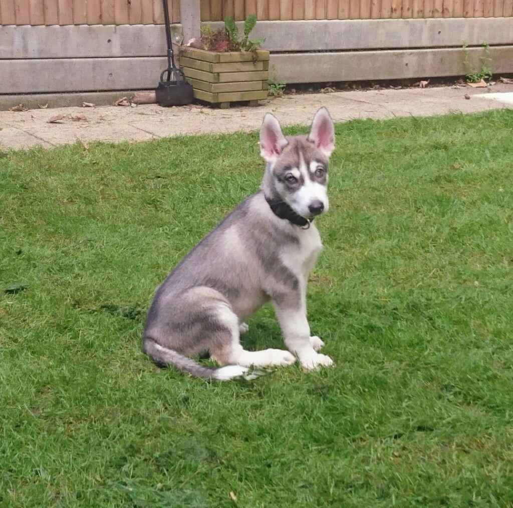 siberian husky puppy male with blue eyes 12 weeks old for sale
