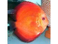 Marlboro Red Discus fish