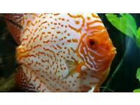 Discus fish pair for sale