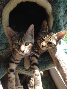 Purebred Savannah Cubs (Kittens) - Available Now