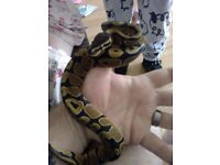 Two baby pythons for sale with 4ft viv