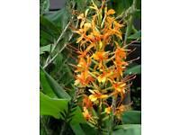 Ginger lily Hedychium coccineum 'Tara'