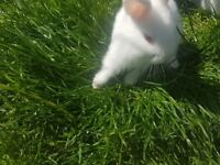 Baby albino dwarf crossed lionheaded rabbits