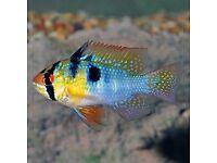 GERMAN BLUE RAM FISH