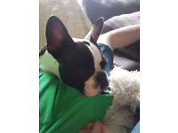 Kc reg female pied french bulldog puppy