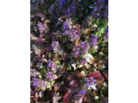 PLANTS - Ajuga reptans - 'Atropurpurea' & lucifer plants...