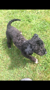 Super sweet Purebred male Toy Poodle