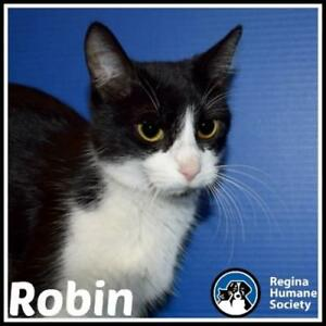 "Young Female Cat - Domestic Short Hair: ""Robin*"""