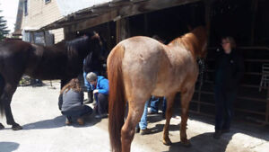INTRO TO EQUINE FIRST AID