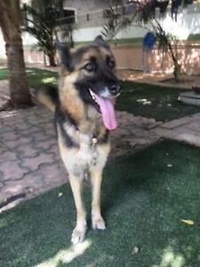 "Adult Female Dog - German Shepherd Dog: ""Nook"""