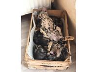 Beautiful Marble Bengal Kittens