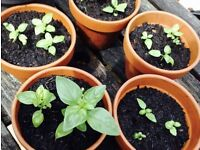 Ready-To-Eat Basil Plants in Terracotta Pots