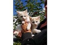 Male kittens